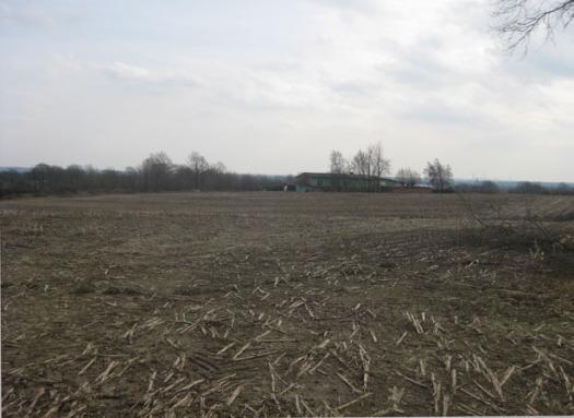 Maisfeld im Frühjahr