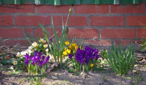 Krokusse. Frühjahrsblüher
