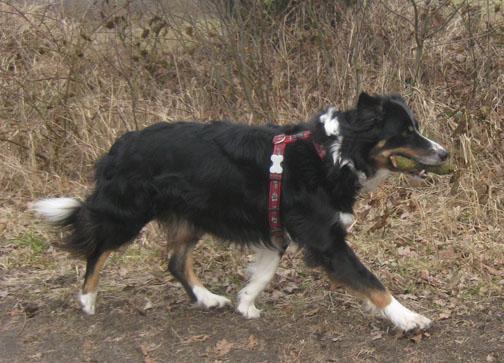 Border Collie Hund