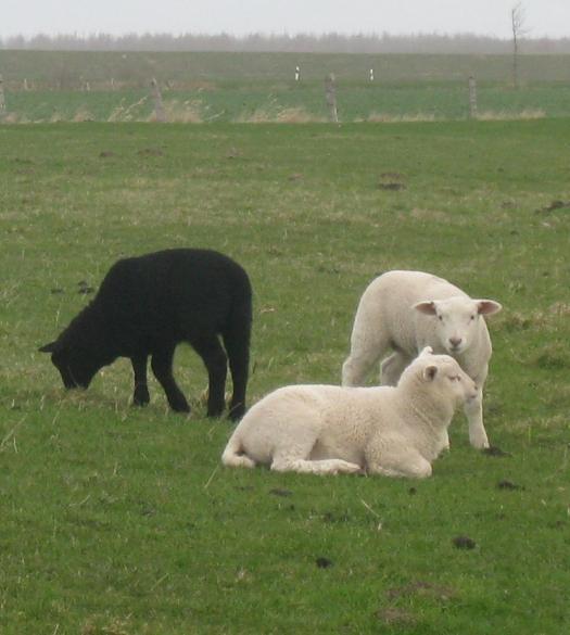 weiße und schwarze Schafe in Dithmarschen
