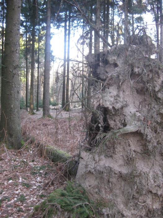 Riesewohld Baumwürzel Wald Dithmarschen