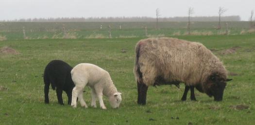 grasende Schafe in Dithmarschen
