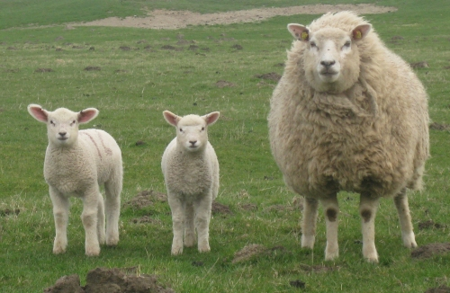 Schaf und zwei Lämmer in Ditmarschen