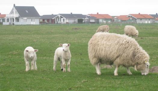 Schafe in Dithmarschen