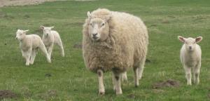 Schafe und Lämmer in Dithmarschen
