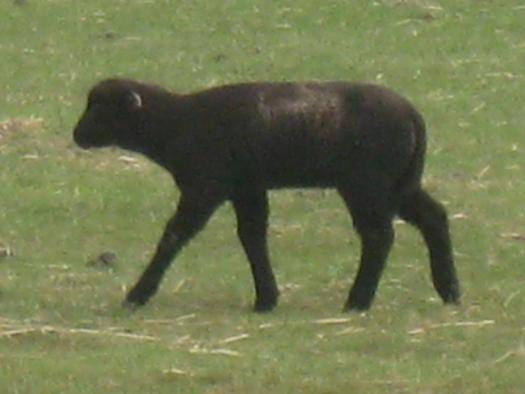 schwarzes Schaf schwarzes Lamm