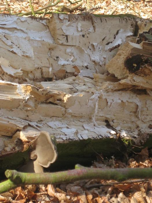alter Baum von innen Wald Natur
