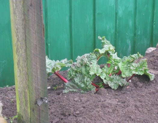 Rhabarber Garten Gartenarbeit pflanzen