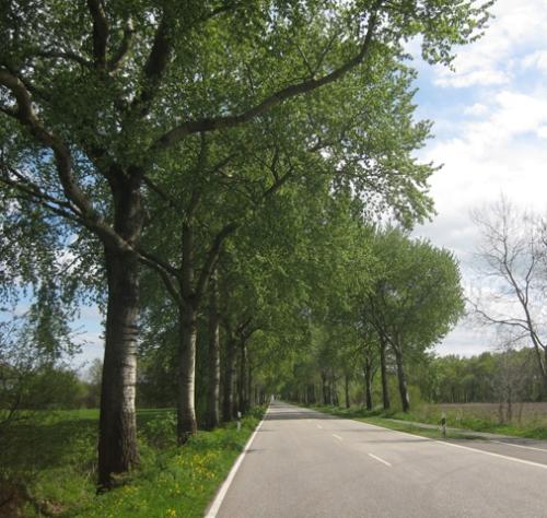 Birkenallee, Allee, Straße, Dithmarschen, Schleswig-Holstein