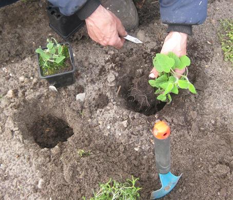 Pflanzen werden eingesetzt, Kraeuterbeet anlegen