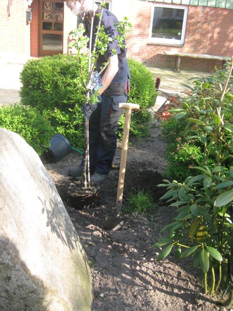 Pflaumenbaum, Pflaumenbaum einpflanzen