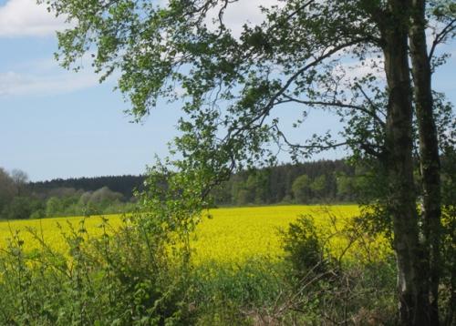 Raps, Rapsfeld, Schleswig-Holstein