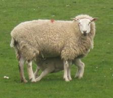 Schaf, Deich, Wattenmeer