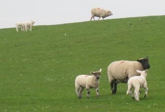 Schafe, am Wattenmeer, Deich