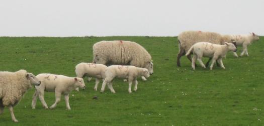 Schafe auf dem Deich, am Wattenmeer, Schafe, Deich