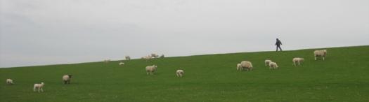 Schafe auf dem Deich, am Wattenmeer