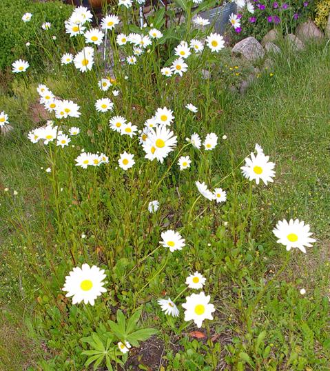 Margeriten, Blumen, Gartenblumen,