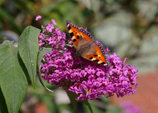 Schmetterling, Flieder,Garten