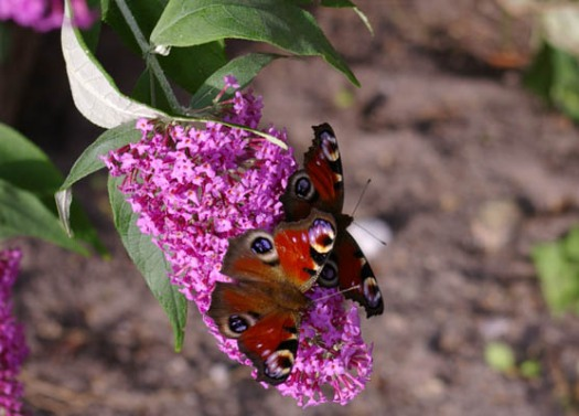 Schmetterling, brauner Falter, Falter,Flieder