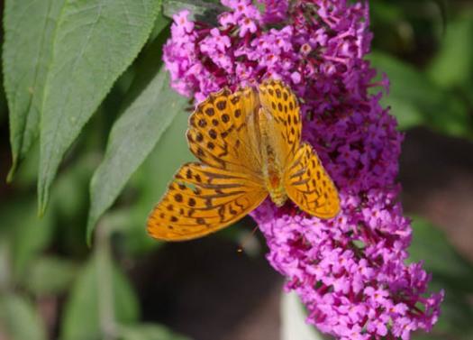 Schmetterling, Falter, Flieder