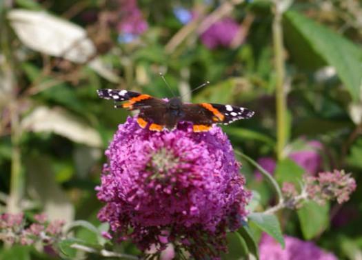 Schmetterling, Falter,Flieder,GArten