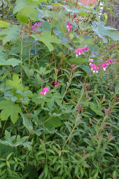 traenendes Herz,Gartenstaude,Bauernblume