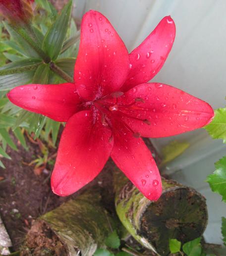 1 rote lilie gartenblume lilien recyclingkunst und der. Black Bedroom Furniture Sets. Home Design Ideas