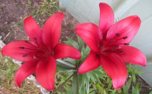 2 rote Lilien Gartenblume liliengewächse