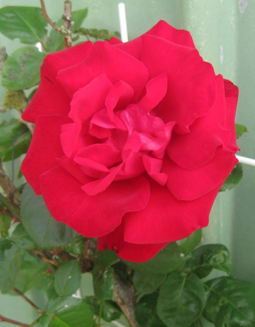 rote rose rote kletterrose