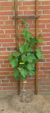 Wein Weinpflanze am Bauernhaus