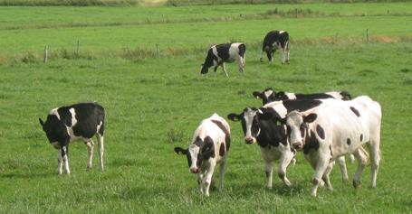 Kühe auf der Weide landleben landidylle