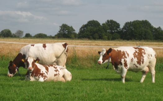 Landidylle Kühe auf der Weide