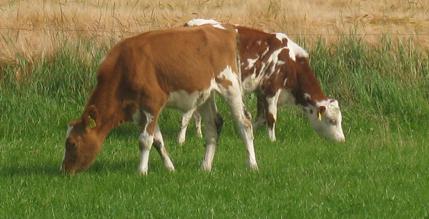 es schmeckt Kühe auf der Weide