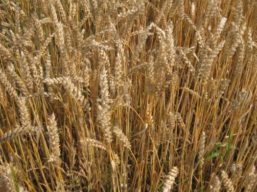 Weizenfeld Weizen