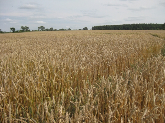 Weizenfeld, Weizen