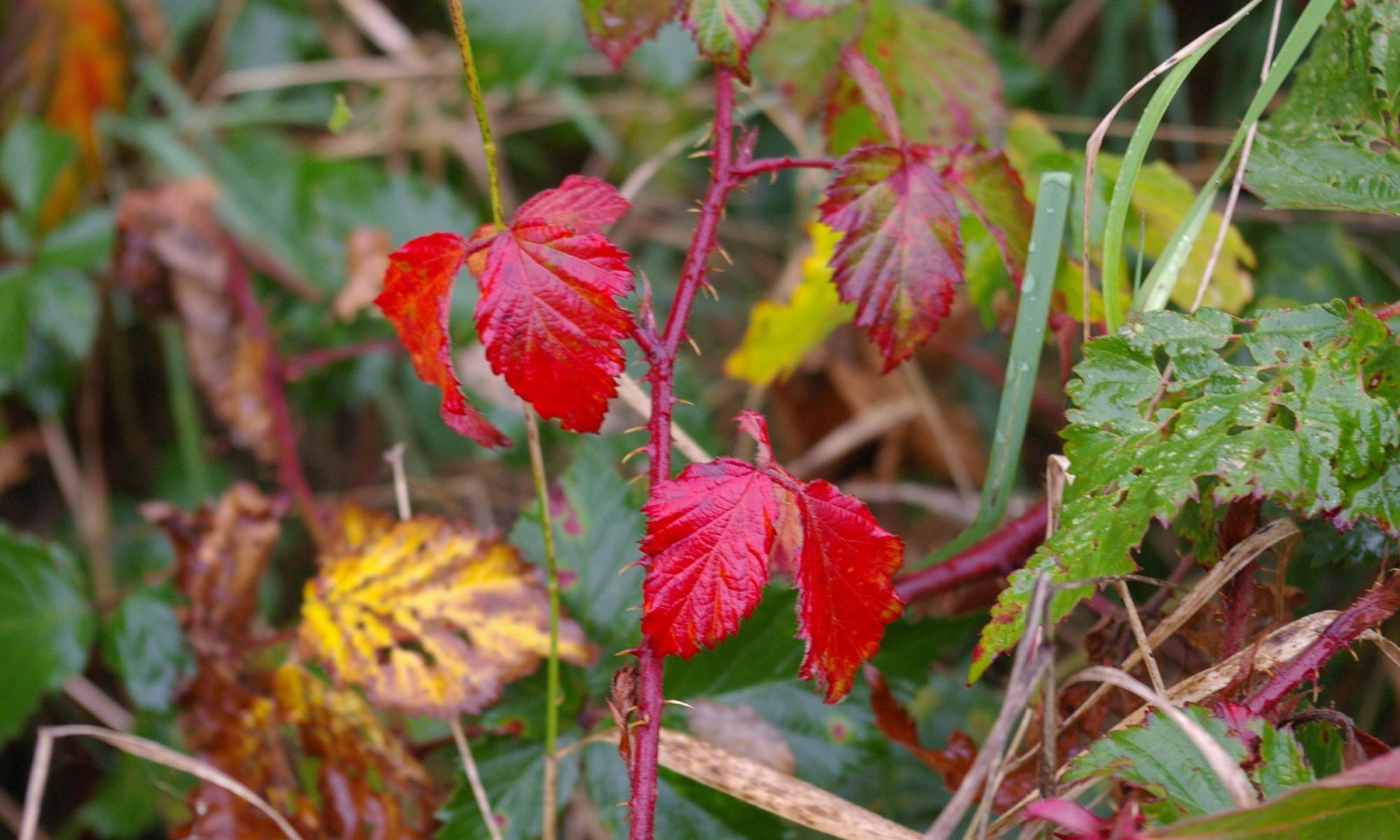 Herbstblaetter im Wind in Dithmarschen