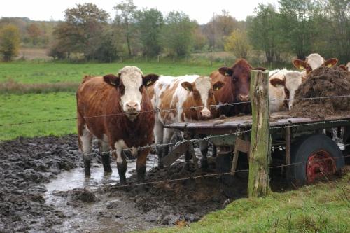 Kuehe auf der Weide in Dithmarschen, fotografie