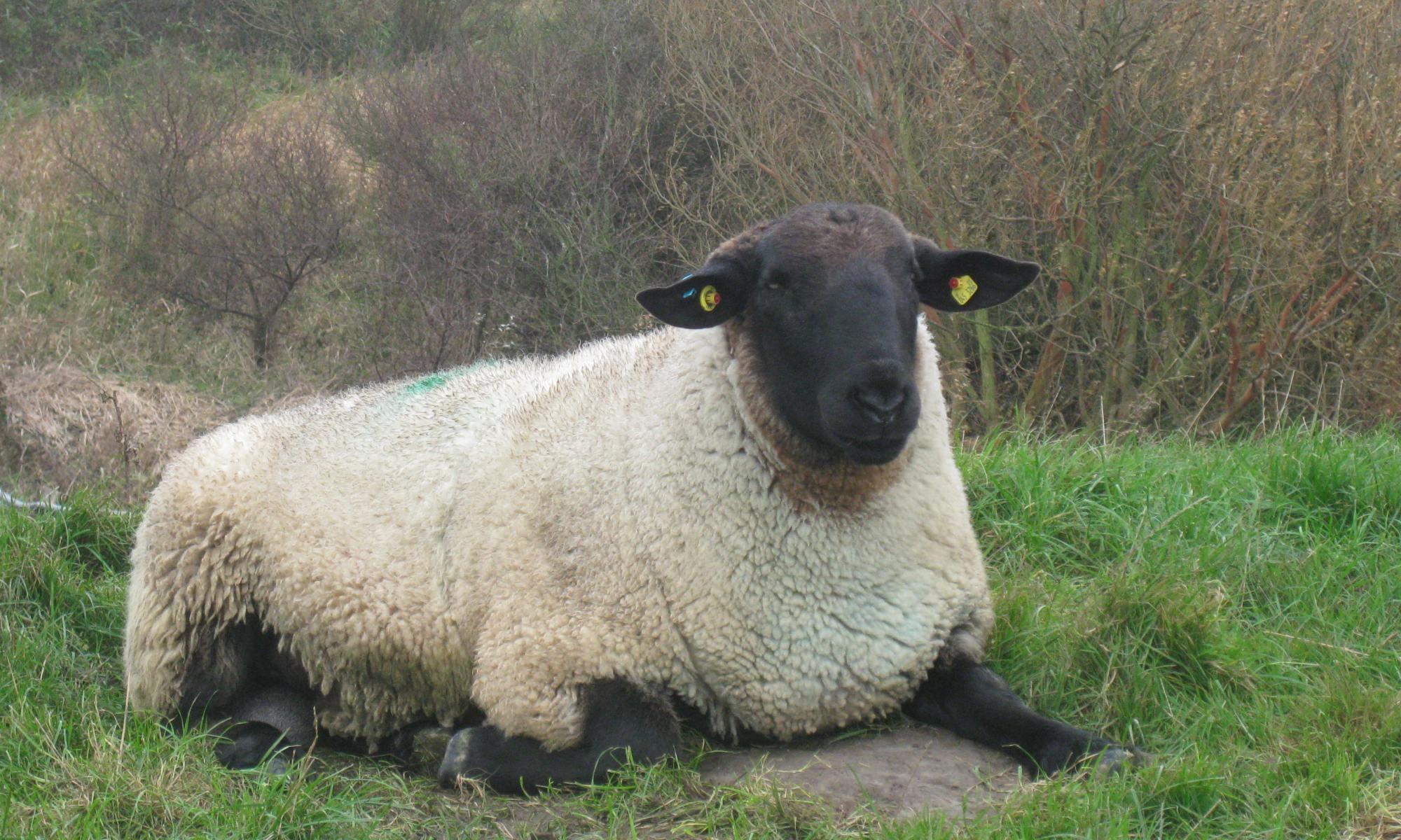 Schaf in Dithmarschen