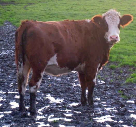 Kuh im Matsch