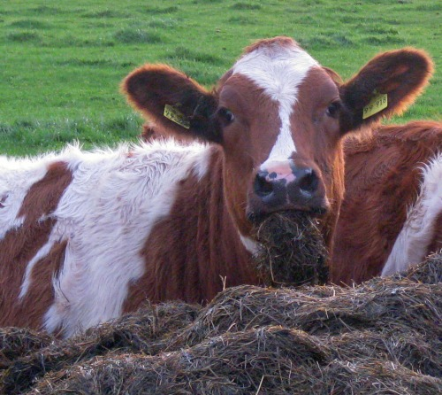 Kuh im Portraet in Dithmarschen