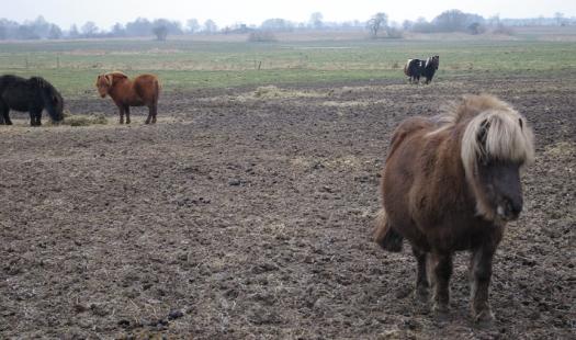 Ponys in Dithmarschen