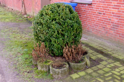 Frühling Buchsbaum