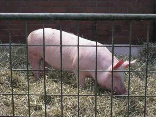 Schwein-im-Wendland-schluet