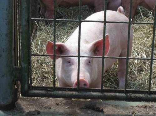 Schweine-im-Wendland-schlueter