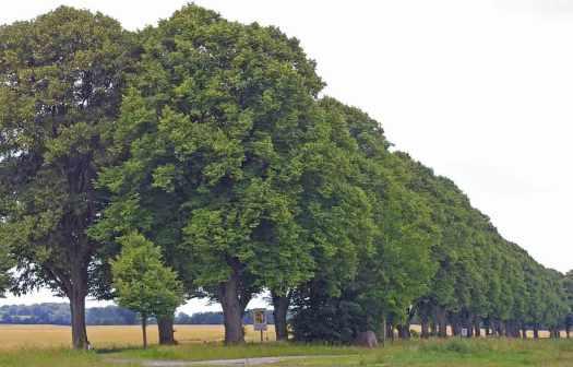 Allee Bäume schlueter design
