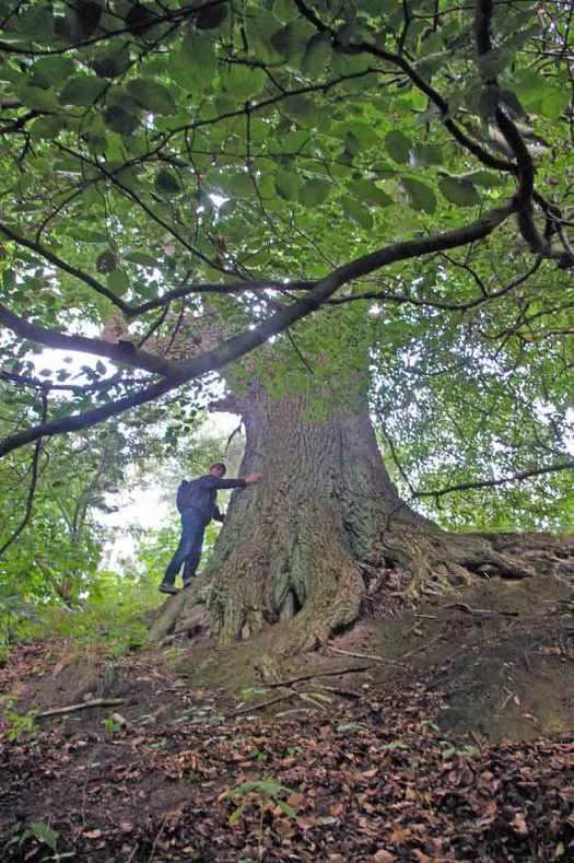 grosser Baum Buche Mecklenburg