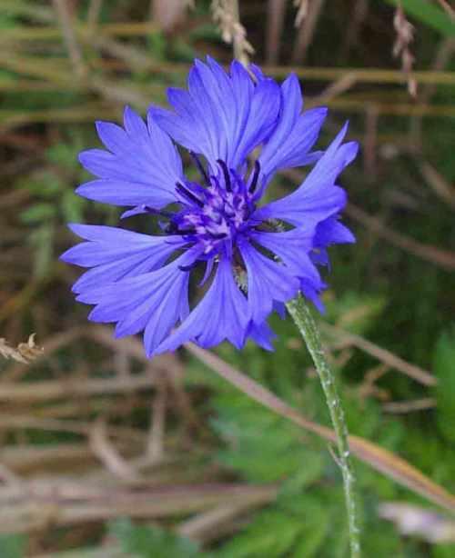 Kornblume blau foto schlueter