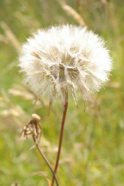 Pusteblume-magic-2