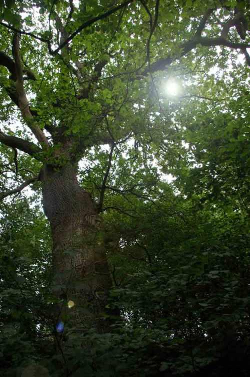 toller Riesenbaum am Plauer See