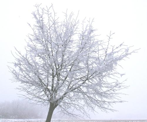 Baum Schneekrone